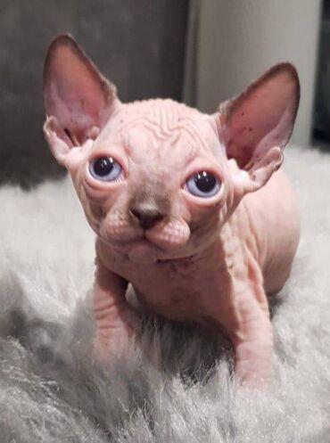 Γεια σας έχω προς πώληση όμορφα γατάκια Sphinx. Έμαθε κουτιά για τα τσ