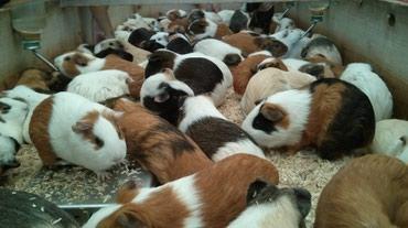 Продаются морские свинки  Разных пород, возрастов и расцветок  От 200