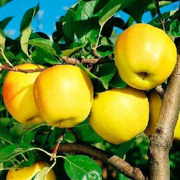 Все для дома и сада - Каинды: Саженцы яблони Голден делишес