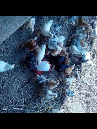 Цыплята домашние 3,5 мес,привиты и пропоены,оптом 100 шт. в Кант