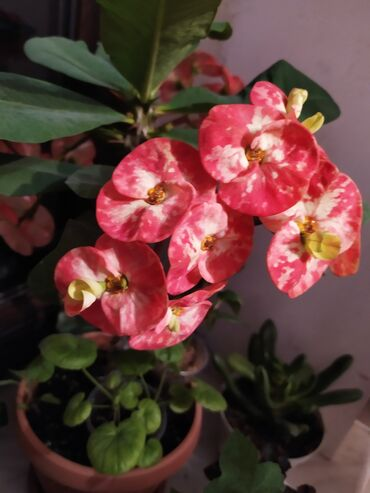 Срочно продаю малочай крупно-цветковый