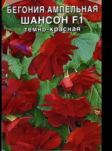 цветущую герань в Кыргызстан: Бегония ампельная серия Шансон в наличии деткиукорененные