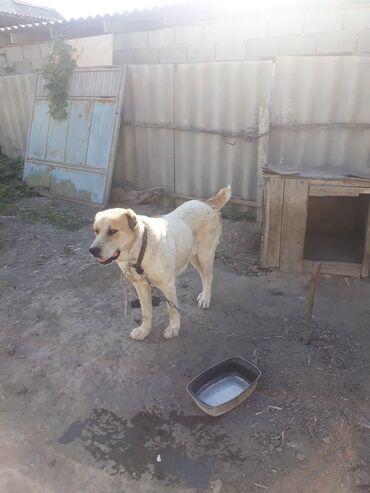 собаки сколько стоит в Кыргызстан: Продается албай хороших кровей,2,5 года даёт хороших щенков