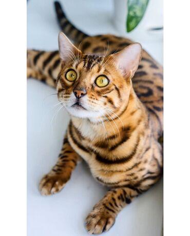 Бенгальский кот! Бенгал! Вязка Бенгальского кота!