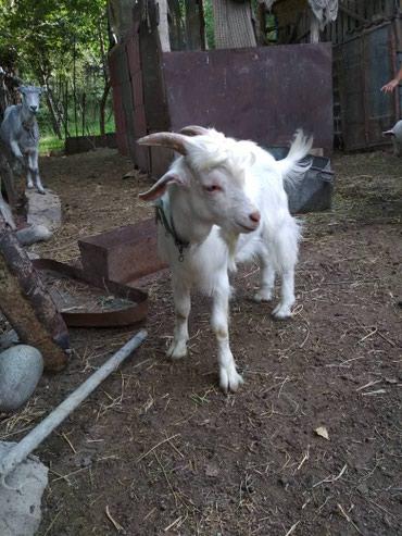 Продаю козу 2года и козлёнка 5мес. в Кант