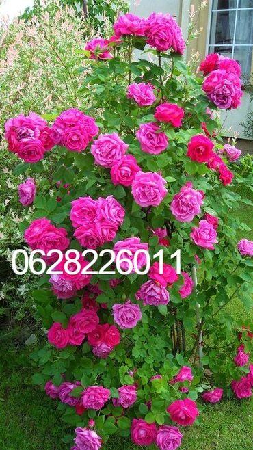Kuća i bašta - Odzaci: Na prodaju sadnice ruza stablasica mini ruza, ukrasnog bilja