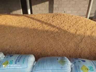 25 объявлений | ЖИВОТНЫЕ: Продаю кукурузу, сорт Краснодар. Сухая влажность 11%