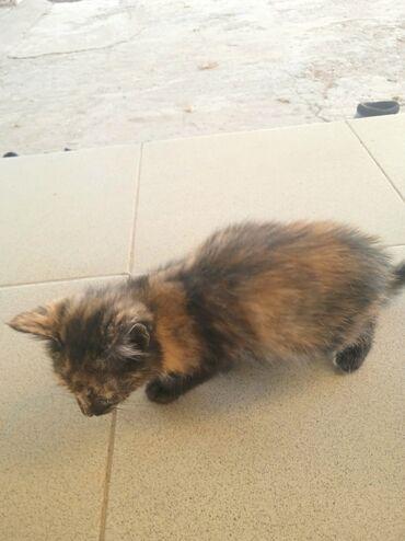 101 объявлений   ЖИВОТНЫЕ: Котёнок девочка