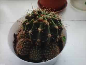 Полезные свойства кактуса в Бишкек