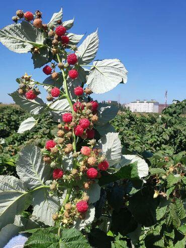 Овощи, фрукты - Кыргызстан: Свежий малина 1кг 220сом.кочот 1шт 10сомдон
