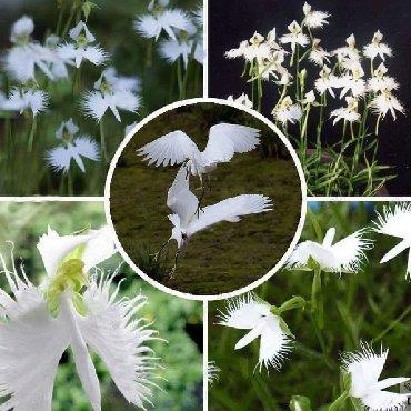 Semena | Arandjelovac: Orhideja bela čaplja - retka biljka CENA:500din/30 semenkiOrhideja
