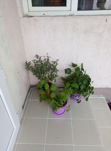 гири купить в Ак-Джол: Продаю цветы гиран живая дерева