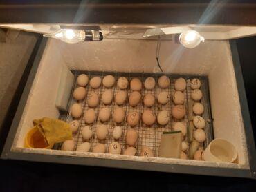 - Azərbaycan: Inkubator 55yumurta tutumu rucnoy. 80 85% cixiw verir ukranya