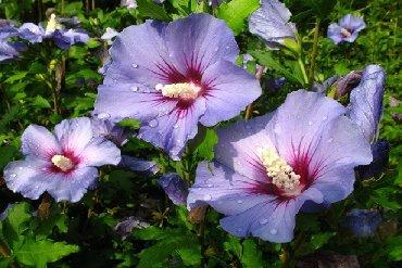 Otaq bitkiləri - İsmayıllı: Hibiscus kolu satiram