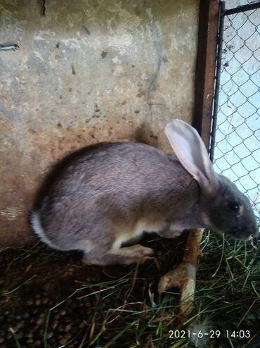 Животные - Беш-Кюнгей: Продаю   Крольчиха (самка), Кролик самец   Фландр   На забой, Для разведения   Племенные
