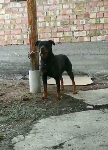 гироскутер за 6000 в Кыргызстан: Ротвейлер. Собака немецкой породыСамка 3,5годаСпокойная, послушная