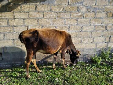 Heyvanlar - Qax: İnek ve Dana. inek 2 bala verib .3 cune bogazdi. bala erkekdi 2 ayli