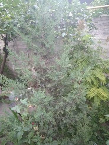 Продаю можевельник 1,8м в Бишкек