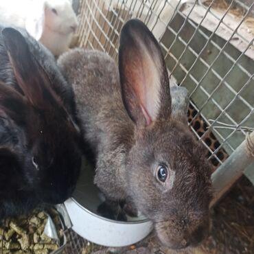 Животные - Пригородное: Продаются кролики микс (полу-великан, Калифорниец, новозеландец