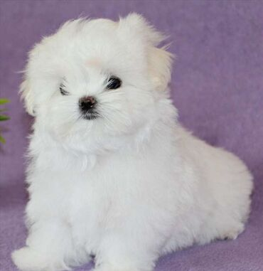 Maltese puppiesMaltese puppies with pedigree of Korean originWelcome