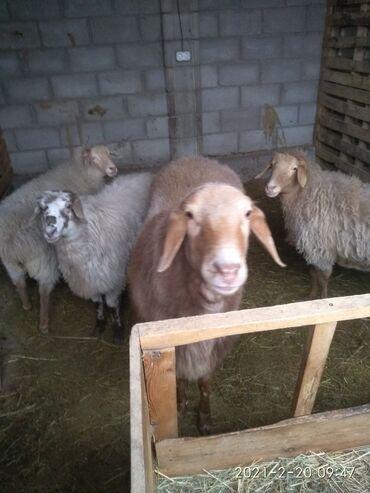Бараны, овцы - Назначение: Для разведения - Бишкек: Продаю   Баран (самец)   Для разведения
