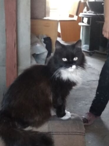 ищу кошку в Кыргызстан: Отдам кошку. 1.6 года.пушистая ласковая