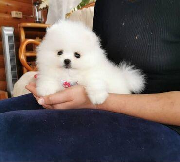 Καθαρόαιμα κουτάβια PomeranianΚαθαρόαιμα κουτάβια Pomeranian. Έχετε