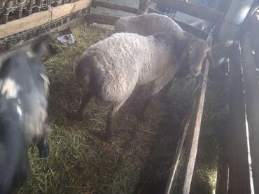 Животные - Сретенка: Бараны, овцы