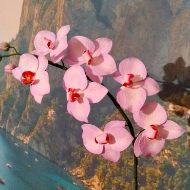 Цветы Орхидеи на заказ. в Кок-Ой