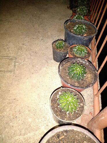 Prodajem kaktuse od 100 do 3000 dinara. Slanje kurirskom sluzbom ili