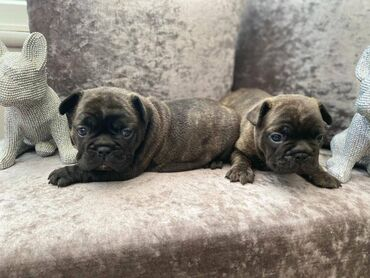 French Bulldog puppies for sale,These are well trained with children
