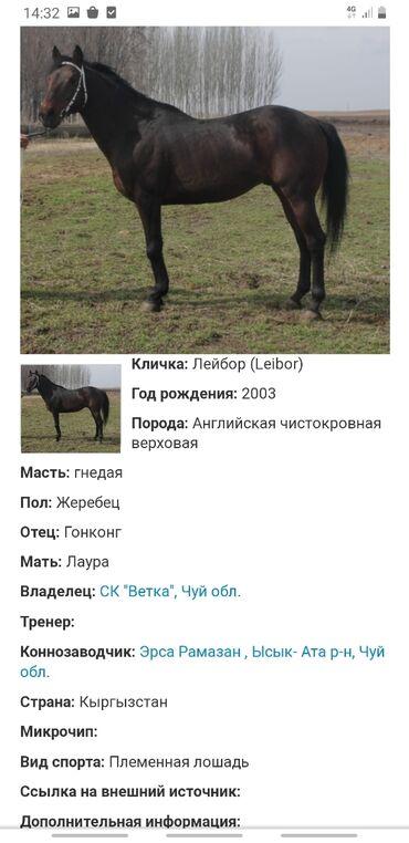 """Чка кобылка на матки 2018 гр из ск """"Ветка"""" отец Сандокан, отец отца"""