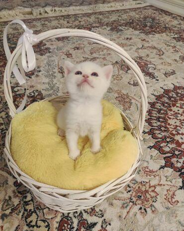 1346 elan | PIŞIKLƏR: На продаже активные и ласковые котята шотландской породы. К лотку