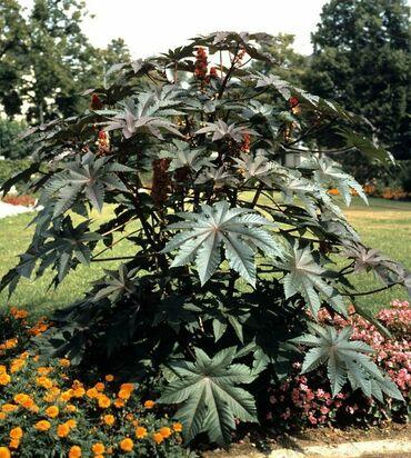 Находки, отдам даром - Беш-Кюнгей: Клещевина - пальма уличная растет очень быстрооднолетнее растениеп