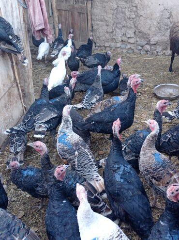 мол булак бишкек in Кыргызстан   ЖЕР ТИЛКЕЛЕРИН САТУУ: А/ч жаныбарлары үчүн тоюттар