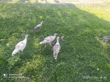 Животные - Чон-Арык: Продаю индюшат 200-голов, цена договорная