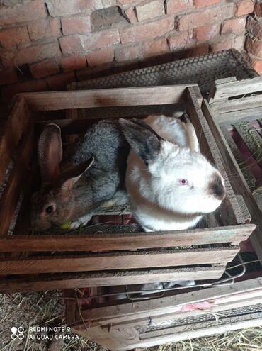 9 объявлений | ЖИВОТНЫЕ: Продаю | Крольчиха (самка)