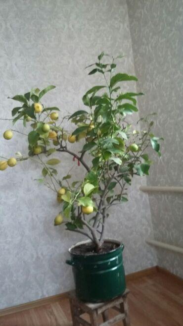 домашний лимон в Кыргызстан: Лимон домашний с плодами с урожаем два раза в год