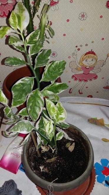 Продаю комнатный цветок в Бишкек