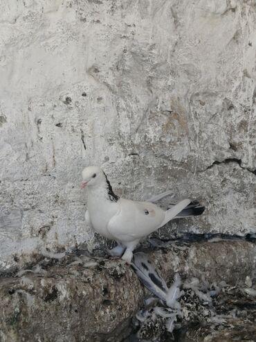 ebres - Azərbaycan: Desde ebres quyruq ebres boyun17 tuk erkeydi. Tam saqlam qusduHeyvanin