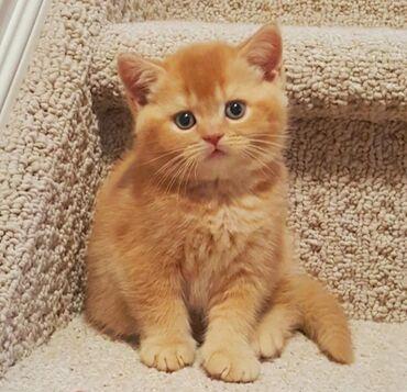 Коты - Ош: Куплю котёнка или кошечку до 6-8 месяцевДля подарка к дню рождения