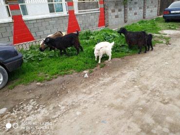 Продаю оптом 6 голов в Бишкек