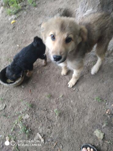 Животные - Ноокат: Даром отдам щенки .месяц. 2штук чёрный и белый.сука.просто так отдам