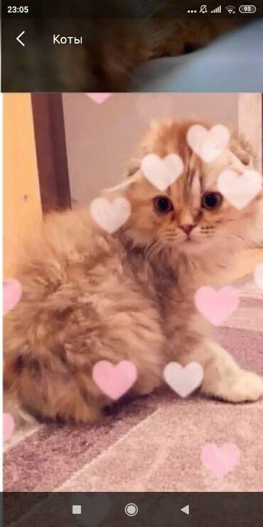 ищу кошку в Кыргызстан: Продаю кошку,шотландская хейленд фолд, привывки все сделаны паспорт