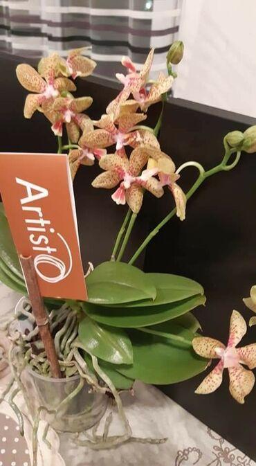Kuća i bašta - Veliko Gradiste: Orhideja Artisto
