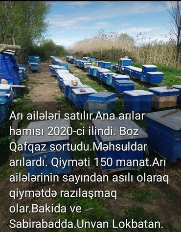 Kənd təsərrüfatı heyvanları - Bakı: Arı ailələrinin satışı. Arılar təmiz Boz Qafqaz cinsidi. Arı