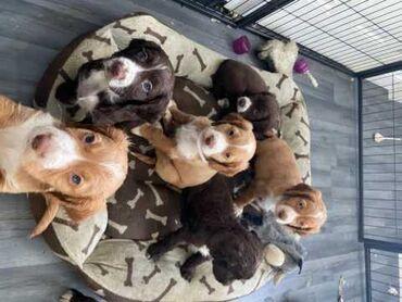 Όμορφα κουτάβια Sprocker Έχω ένα καφέ σκύλα, 3 καφέ σκύλους και δύο όμ