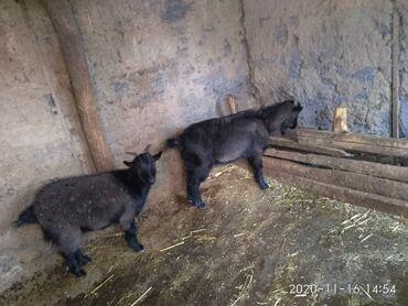 платья ретро 50 х в Кыргызстан: С/х животные