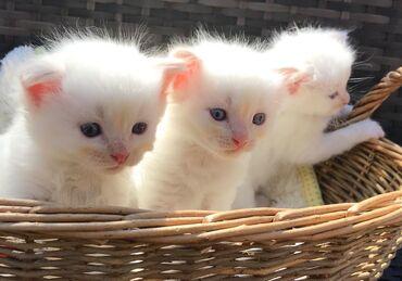 Όμορφα σκουπίδια γατάκια ragdoll.Είναι ενεργά εγγεγραμμένα, ποιότητα