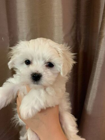 Maltese puppies ready for sale We have both male and female maltese